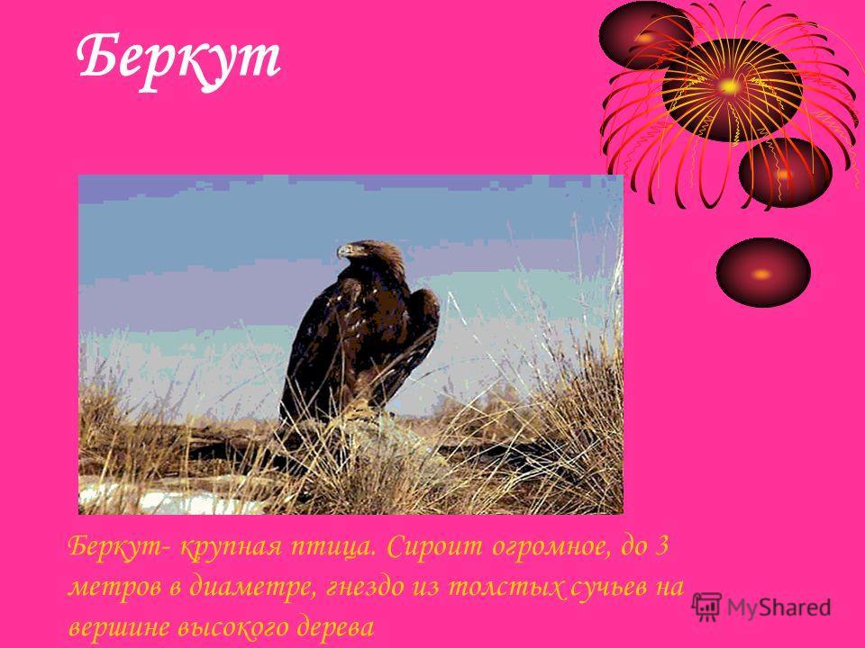 Беркут Итоговый слайд Беркут- крупная птица. Сироит огромное, до 3 метров в диаметре, гнездо из толстых сучьев на вершине высокого дерева