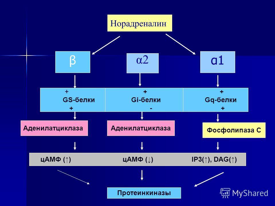 α2α2 Аденилатциклаза Протеинкиназы Аденилатциклаза Фосфолипаза С Норадреналин + + + GS-белки Gi-белки Gq-белки + - + цАМФ () цАМФ () IP3(), DAG() β α1 α1