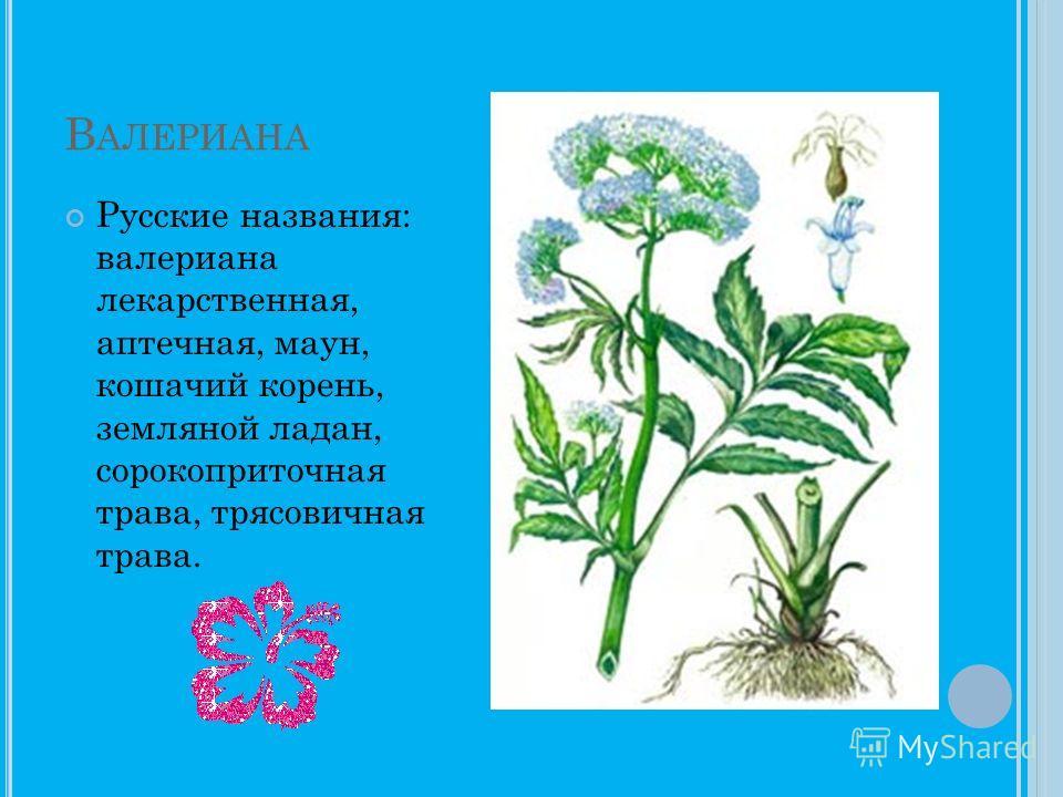 В АЛЕРИАНА Русские названия: валериана лекарственная, аптечная, маун, кошачий корень, земляной ладан, сорокоприточная трава, трясовичная трава.