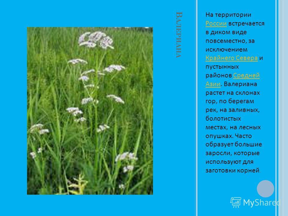 В АЛЕРИАНА На территории России встречается в диком виде повсеместно, за исключением Крайнего Севера и пустынных районов Средней Азии. Валериана растет на склонах гор, по берегам рек, на заливных, болотистых местах, на лесных опушках. Часто образует