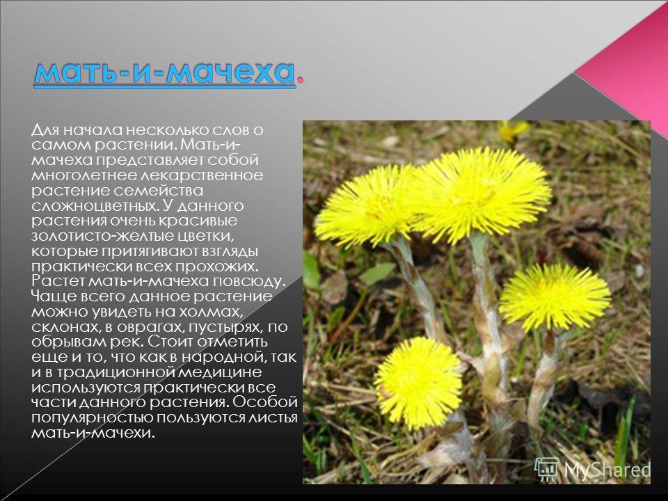 Для начала несколько слов о самом растении. Мать-и- мачеха представляет собой многолетнее лекарственное растение семейства сложноцветных. У данного растения очень красивые золотисто-желтые цветки, которые притягивают взгляды практически всех прохожих