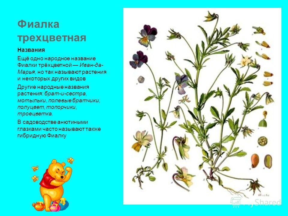 Фиалка трехцветная Названия Ещё одно народное название Фиалки трёхцветной Иван-да- Марья, но так называют растения и некоторых других видов Другие народные названия растения: брат-и-сестра, мотыльки, полевые братчики, полуцвет, топорчики, троецветка.