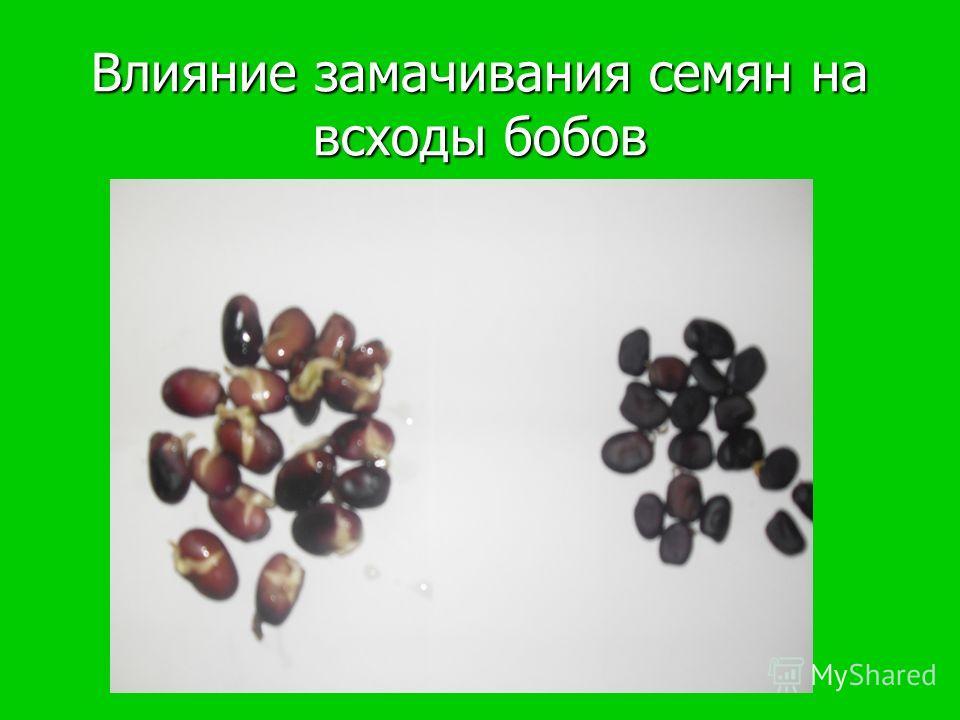 Влияние замачивания семян на всходы бобов