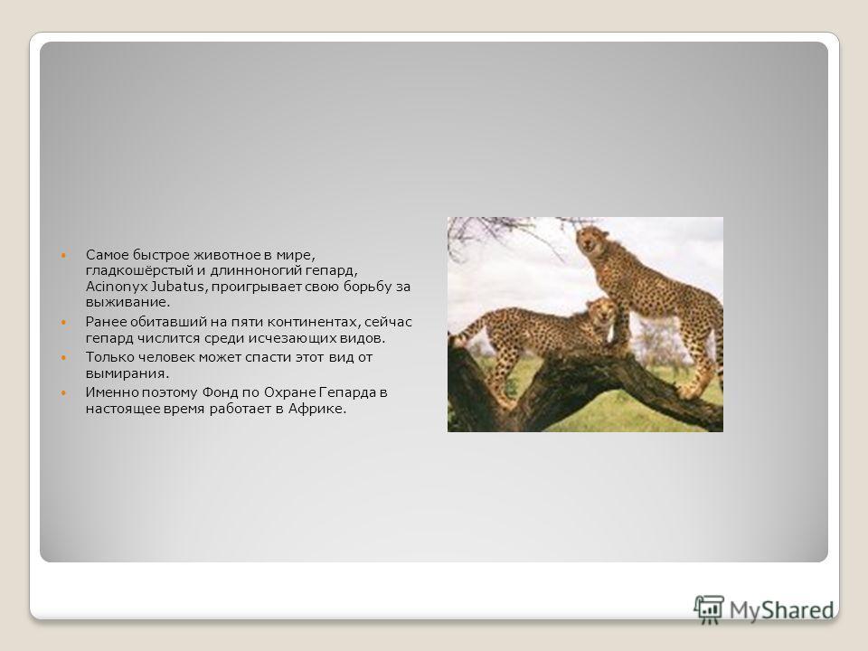 Самое быстрое животное в мире, гладкошёрстый и длинноногий гепард, Acinonyx Jubatus, проигрывает свою борьбу за выживание. Ранее обитавший на пяти континентах, сейчас гепард числится среди исчезающих видов. Только человек может спасти этот вид от вым