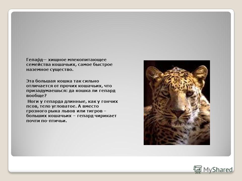 Гепа́рд хищное млекопитающее семейства кошачьих, самое быстрое наземное существо. Эта большая кошка так сильно отличается от прочих кошачьих, что призадумаешься: да кошка ли гепард вообще? Ноги у гепарда длинные, как у гончих псов, тело угловатое. А