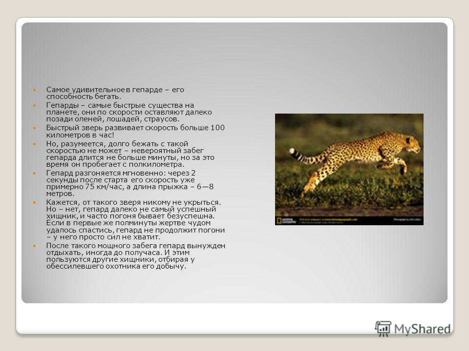Самое удивительное в гепарде – его способность бегать. Гепарды – самые быстрые существа на планете, они по скорости оставляют далеко позади оленей, лошадей, страусов. Быстрый зверь развивает скорость больше 100 километров в час! Но, разумеется, долго