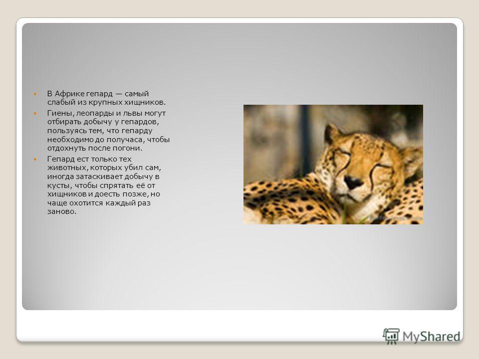 В Африке гепард самый слабый из крупных хищников. Гиены, леопарды и львы могут отбирать добычу у гепардов, пользуясь тем, что гепарду необходимо до получаса, чтобы отдохнуть после погони. Гепард ест только тех животных, которых убил сам, иногда затас
