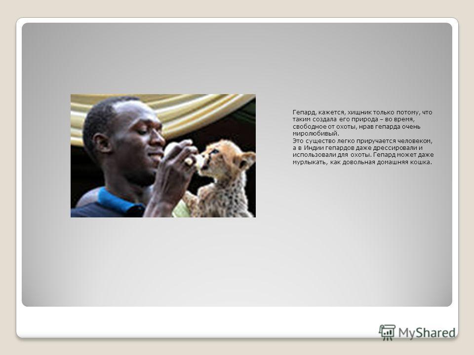 Гепард, кажется, хищник только потому, что таким создала его природа – во время, свободное от охоты, нрав гепарда очень миролюбивый. Это существо легко приручается человеком, а в Индии гепардов даже дрессировали и использовали для охоты. Гепард может