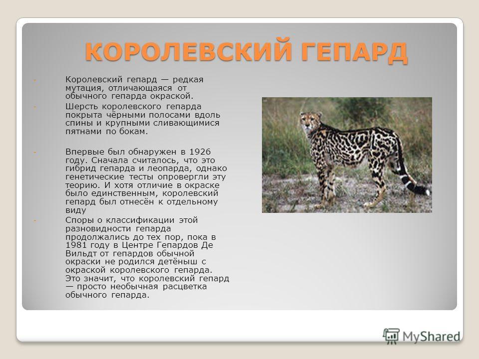 КОРОЛЕВСКИЙ ГЕПАРД - Королевский гепард редкая мутация, отличающаяся от обычного гепарда окраской. - Шерсть королевского гепарда покрыта чёрными полосами вдоль спины и крупными сливающимися пятнами по бокам. - Впервые был обнаружен в 1926 году. Снача