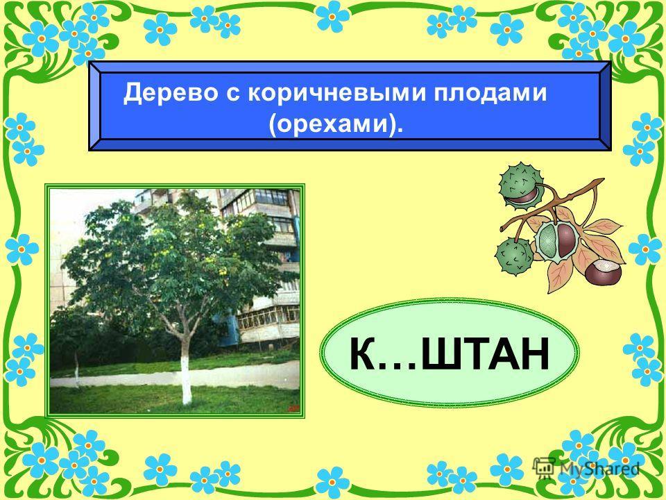 К…ШТАН Дерево с коричневыми плодами (орехами).