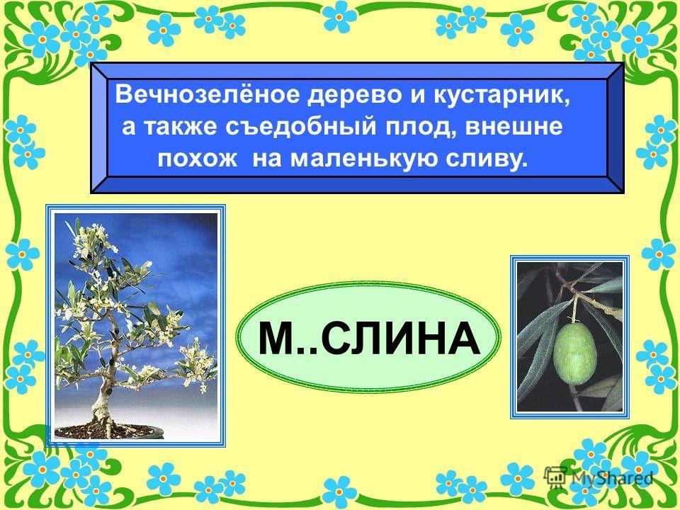 М..СЛИНА Вечнозелёное дерево и кустарник, а также съедобный плод, внешне похож на маленькую сливу.