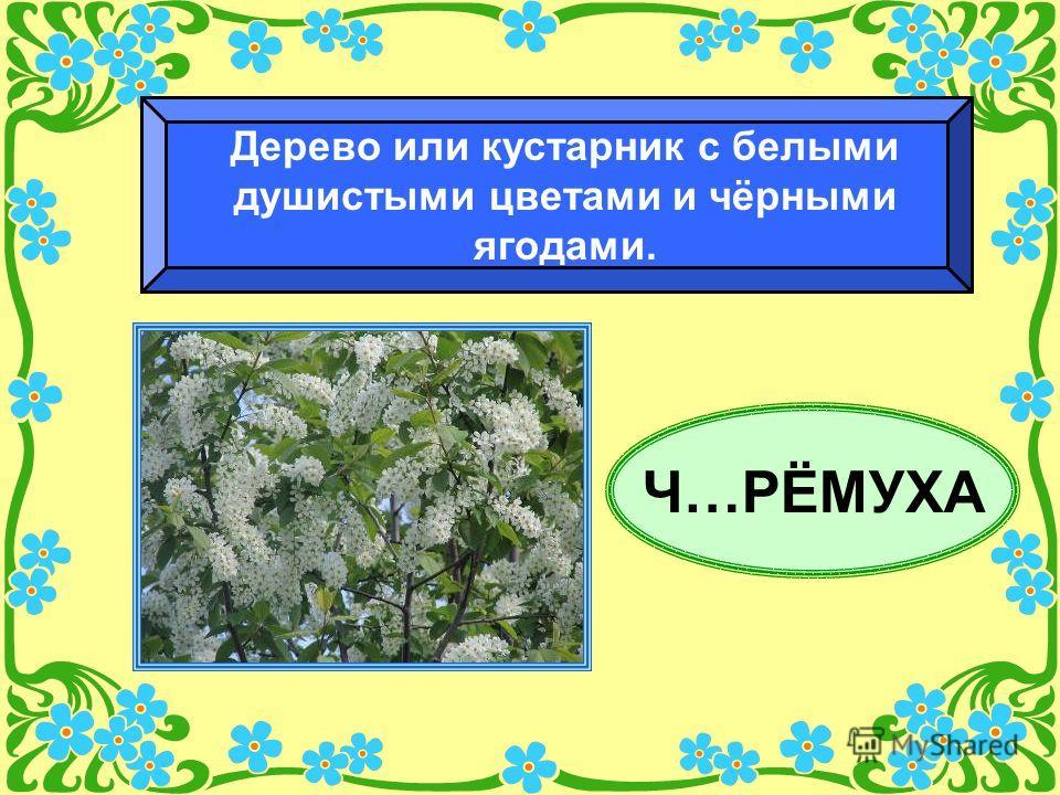 Ч…РЁМУХА Дерево или кустарник с белыми душистыми цветами и чёрными ягодами.