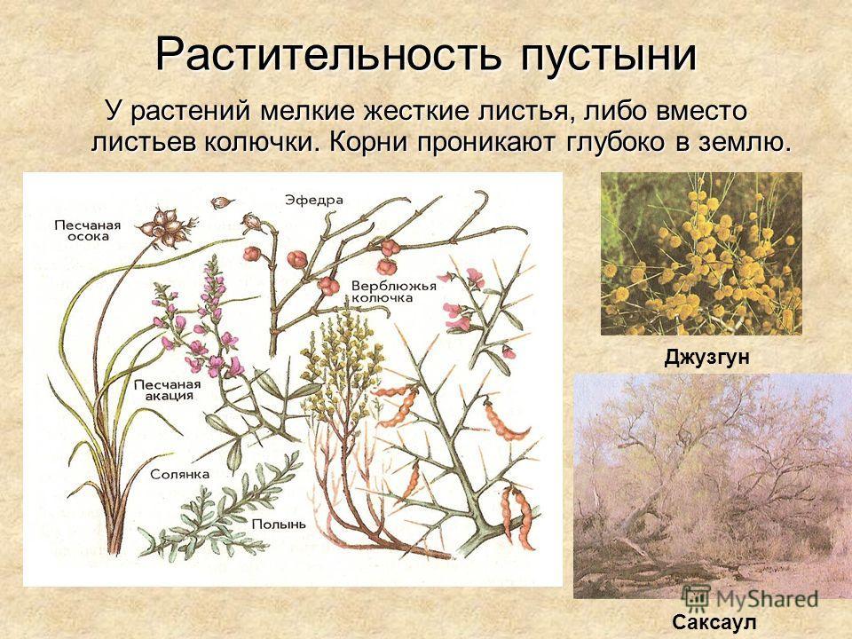 Растительность пустыни У растений мелкие жесткие листья, либо вместо листьев колючки. Корни проникают глубоко в землю. Джузгун Саксаул