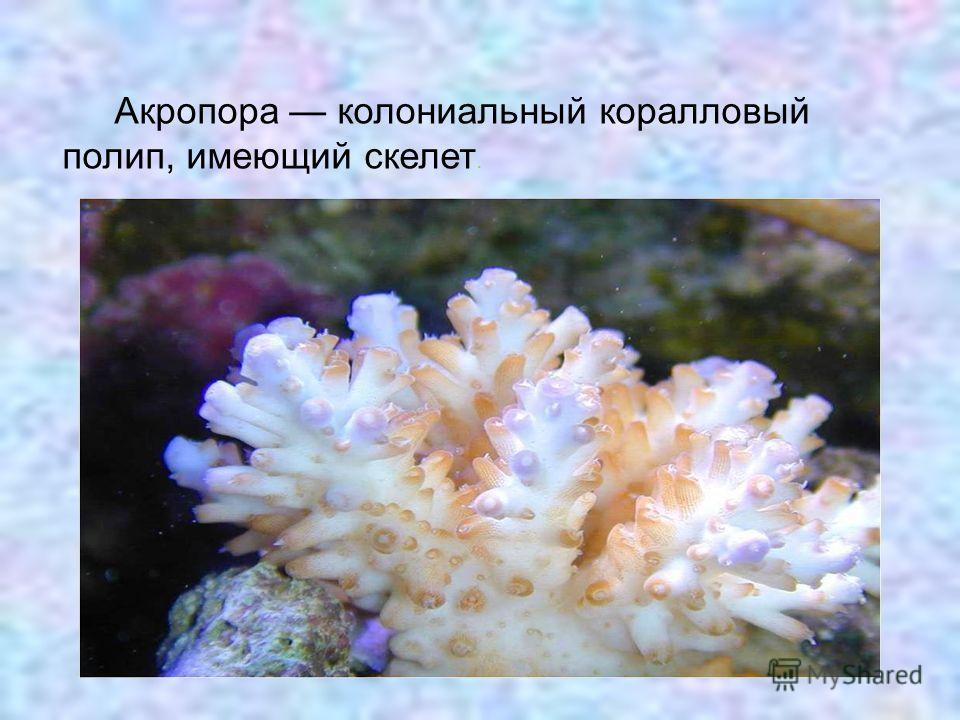 Акропора колониальный коралловый полип, имеющий скелет.
