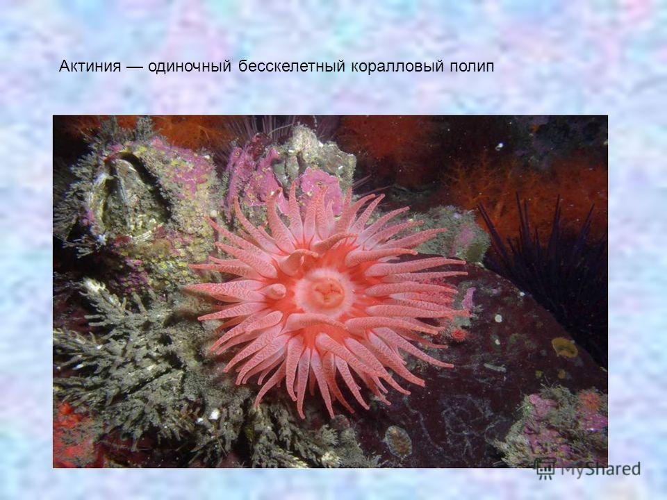 Актиния одиночный бесскелетный коралловый полип
