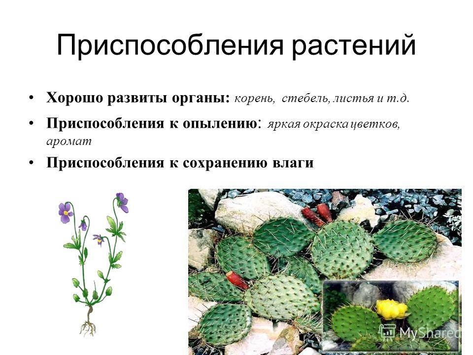 Приспособления растений Хорошо развиты органы : корень, стебель, листья и т. д. Приспособления к опылению : яркая окраска цветков, аромат Приспособления к сохранению влаги