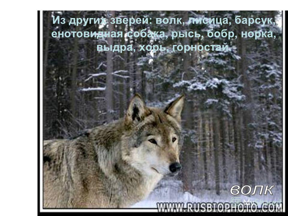 Из других зверей : волк, лисица, барсук, енотовидная собака, рысь, бобр, норка, выдра, хорь, горностай.