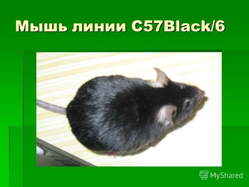 Мышь линии С57Black/6