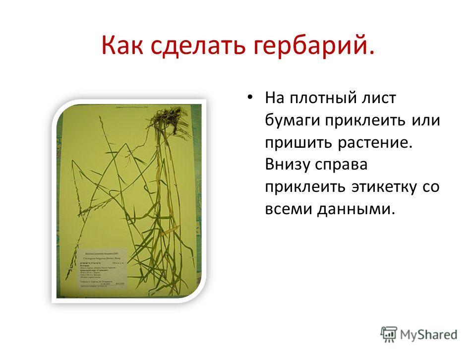 Как сделать гербарий. На плотный лист бумаги приклеить или пришить растение. Внизу справа приклеить этикетку со всеми данными.