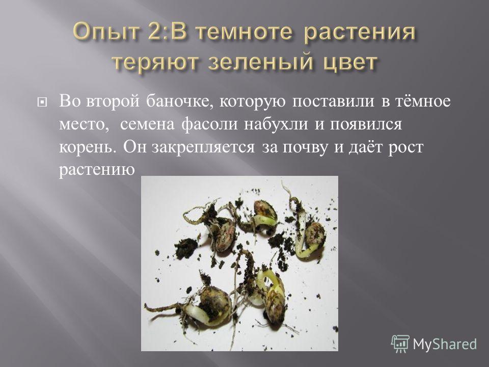 Во второй баночке, которую поставили в тёмное место, семена фасоли набухли и появился корень. Он закрепляется за почву и даёт рост растению