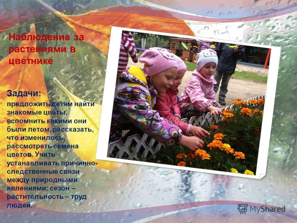 Наблюдение за растениями в цветнике Задачи: предложить детям найти знакомые цветы, вспомнить какими они были летом, рассказать, что изменилось, рассмотреть семена цветов. Учить устанавливать причинно- следственные связи между природными явлениями: се