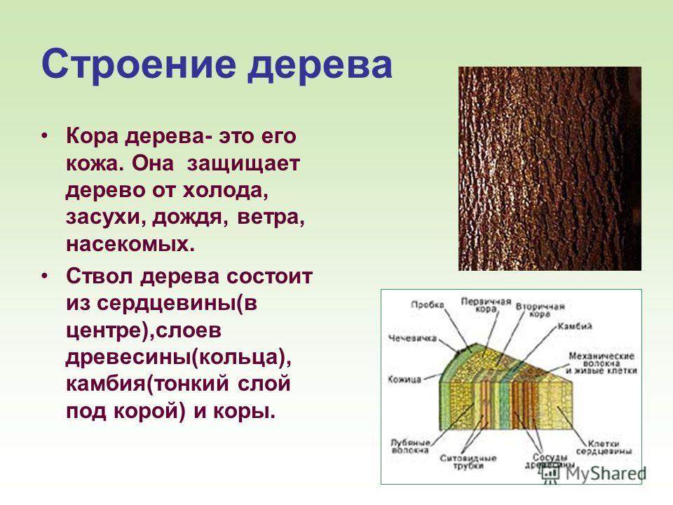 10 Строение дерева Кора дерева- это его кожа. Она защищает дерево от холода, засухи, дождя, ветра, насекомых. Ствол дерева состоит из сердцевины(в центре),слоев древесины(кольца), камбия(тонкий слой под корой) и коры.