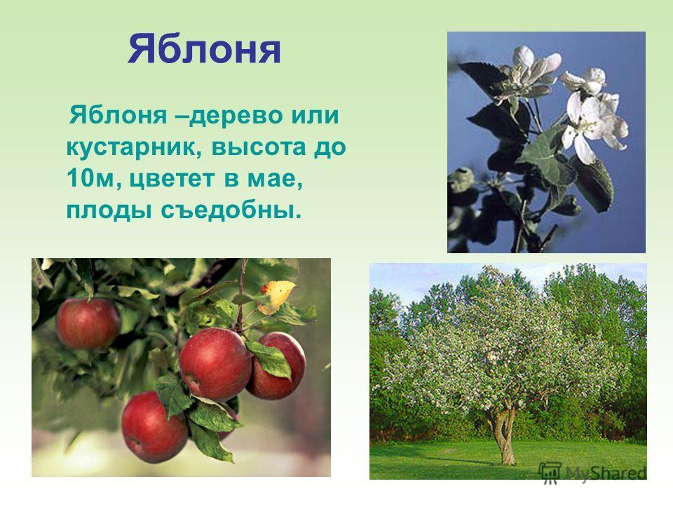 12 Яблоня Яблоня –дерево или кустарник, высота до 10м, цветет в мае, плоды съедобны.