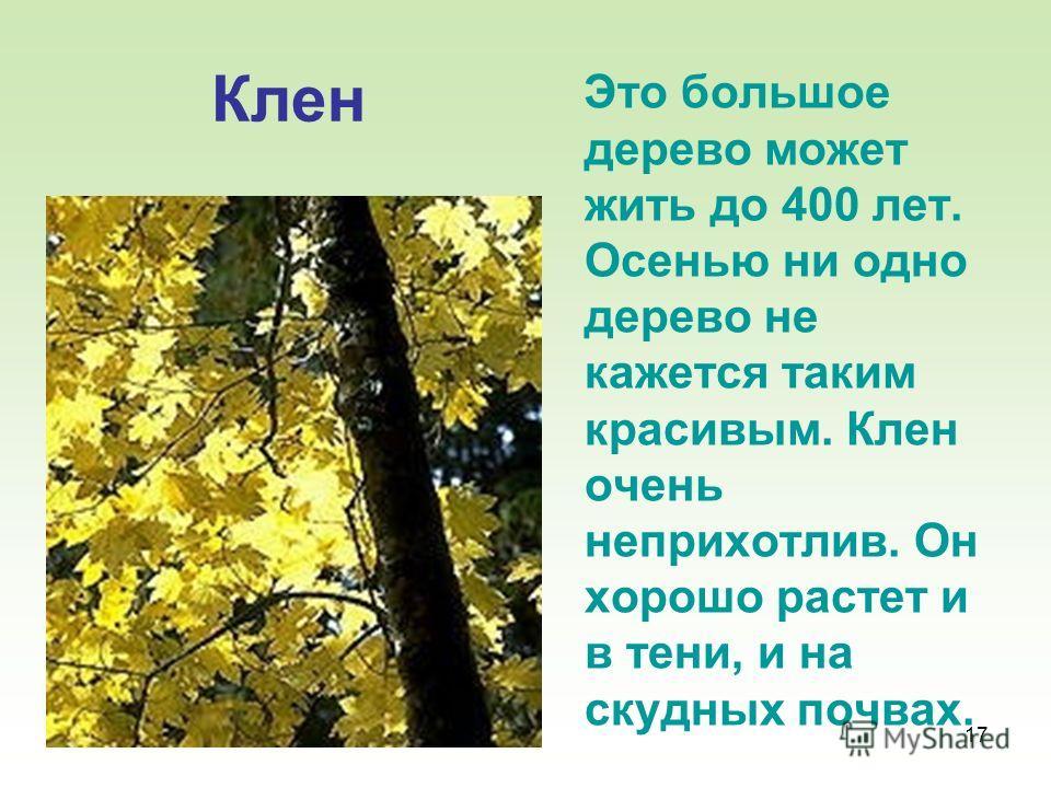 17 Клен Это большое дерево может жить до 400 лет. Осенью ни одно дерево не кажется таким красивым. Клен очень неприхотлив. Он хорошо растет и в тени, и на скудных почвах.