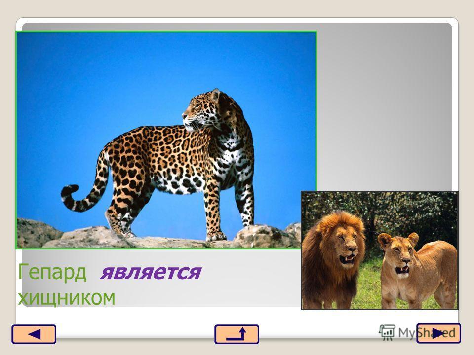 Гепард является хищником