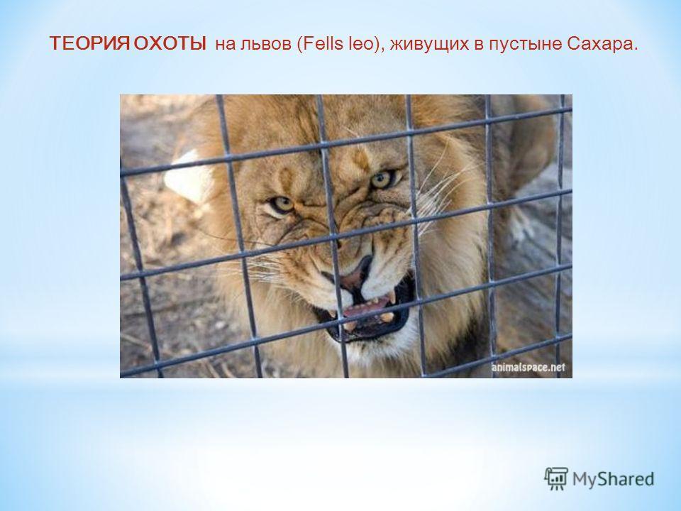 ТЕОРИЯ ОХОТЫ на львов (Fells leo), живущих в пустыне Сахара.