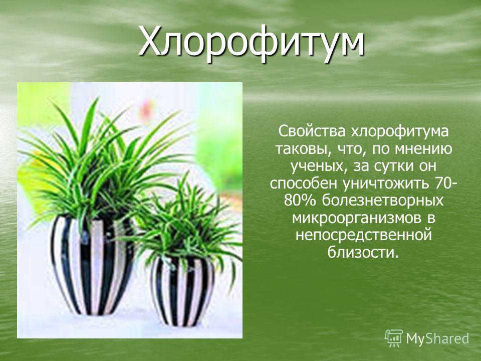 Хлорофитум Свойства хлорофитума таковы, что, по мнению ученых, за сутки он способен уничтожить 70- 80% болезнетворных микроорганизмов в непосредственной близости.