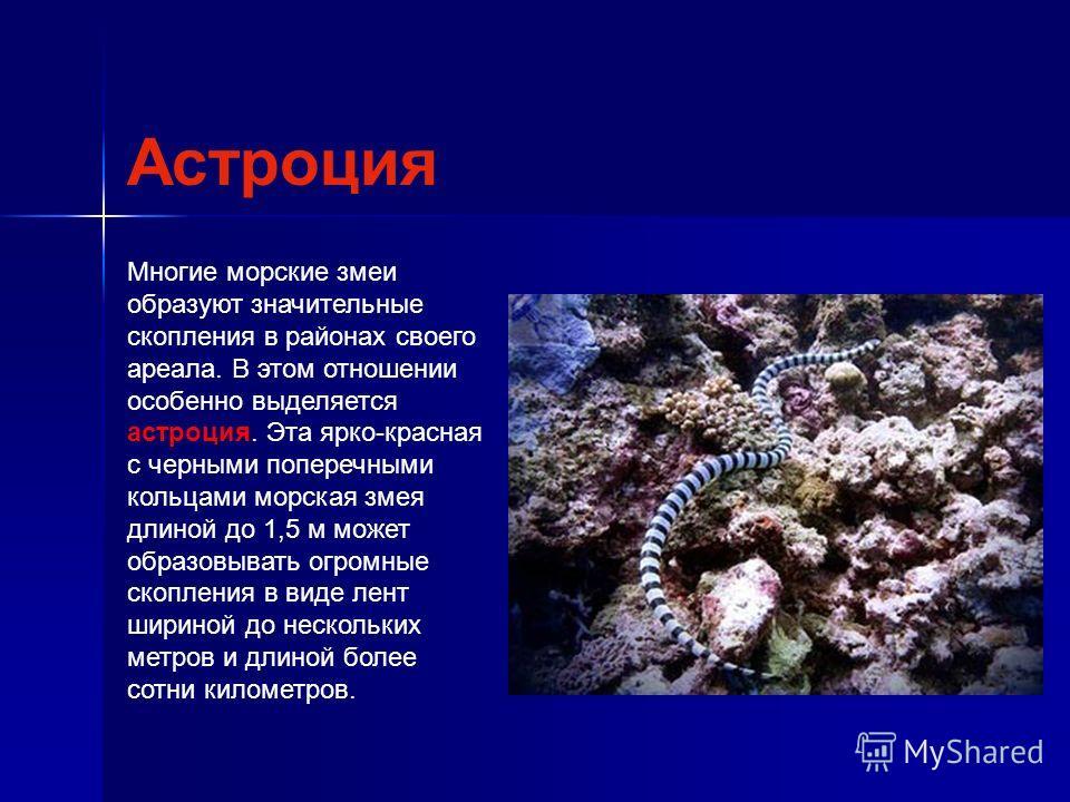 Многие морские змеи образуют значительные скопления в районах своего ареала. В этом отношении особенно выделяется астроция. Эта ярко-красная с черными поперечными кольцами морская змея длиной до 1,5 м может образовывать огромные скопления в виде лент