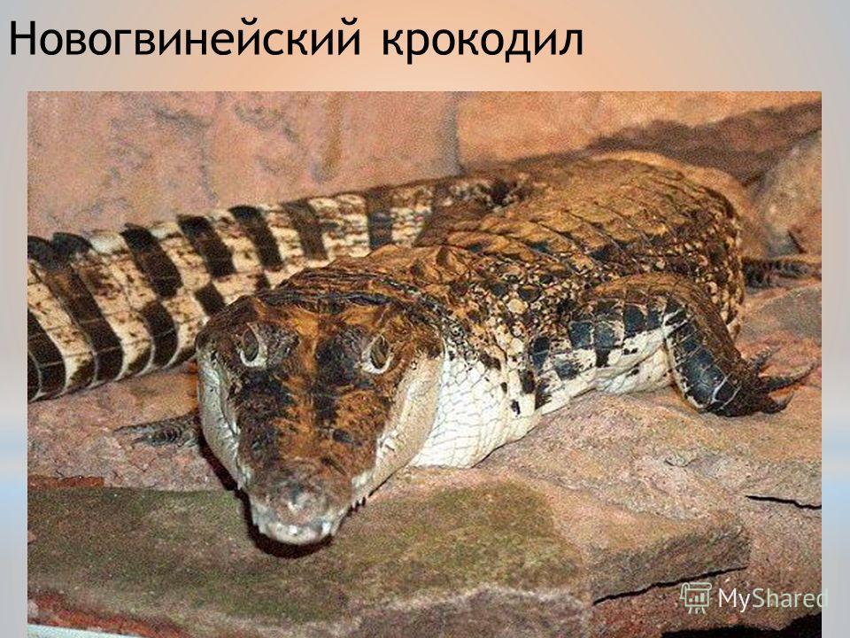 Новогвинейский крокодил