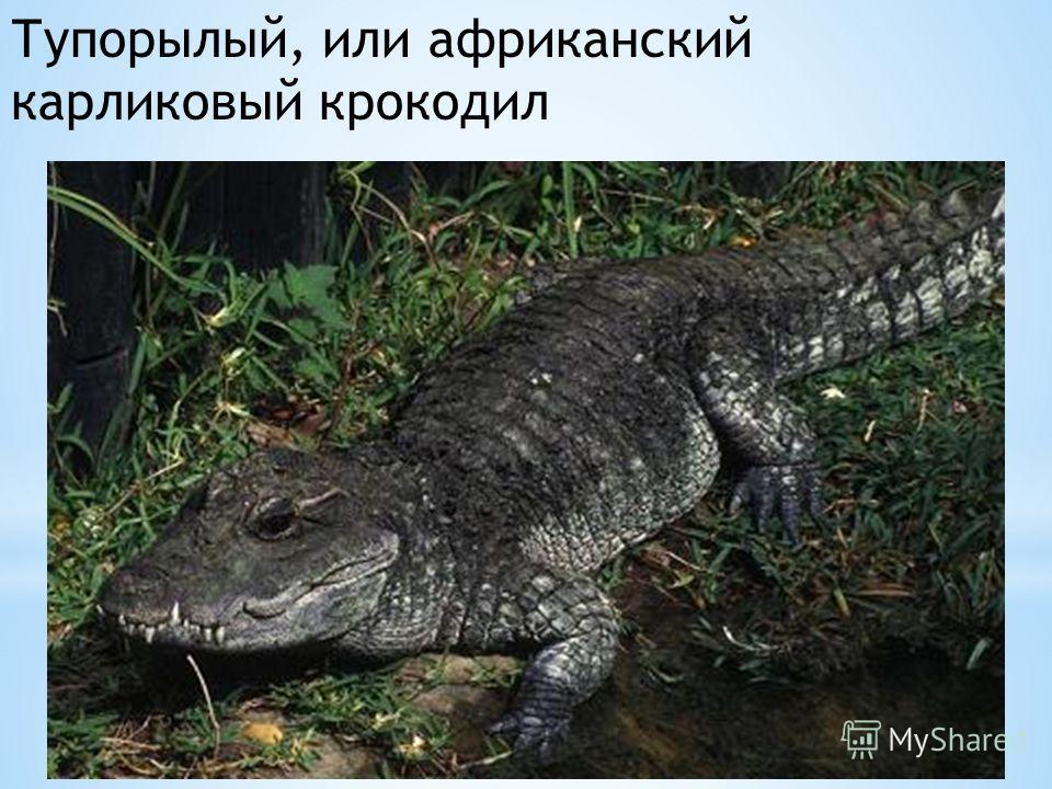 Тупорылый, или африканский карликовый крокодил