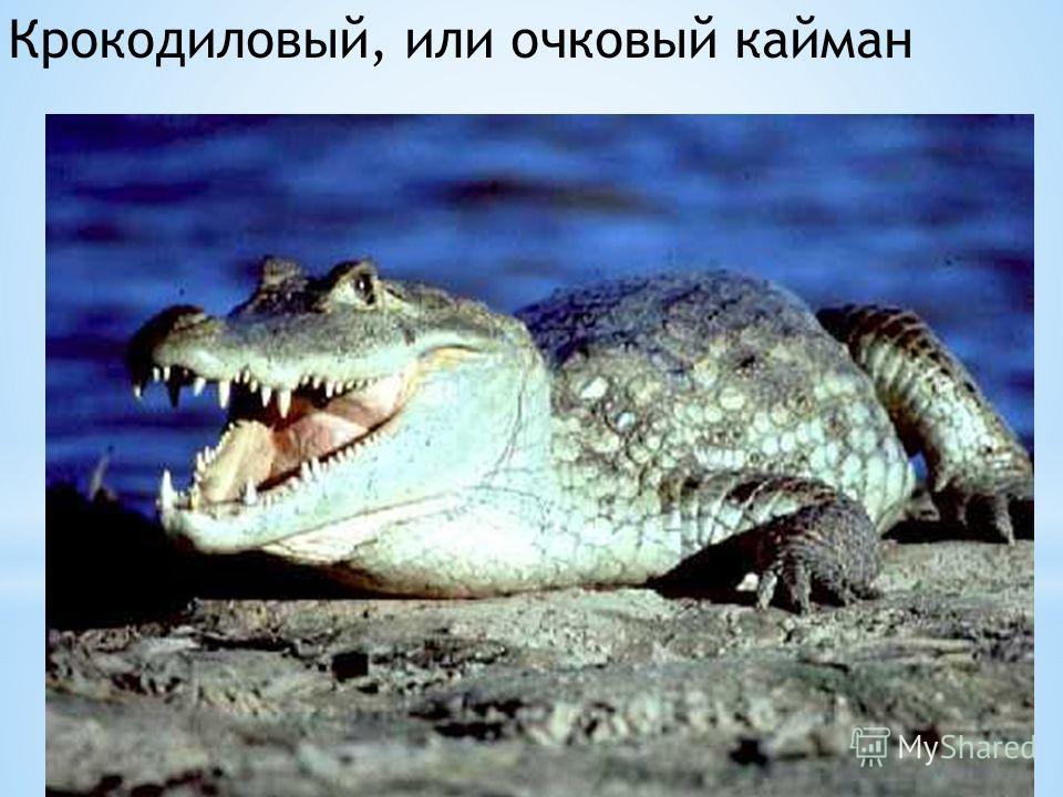 Крокодиловый, или очковый кайман