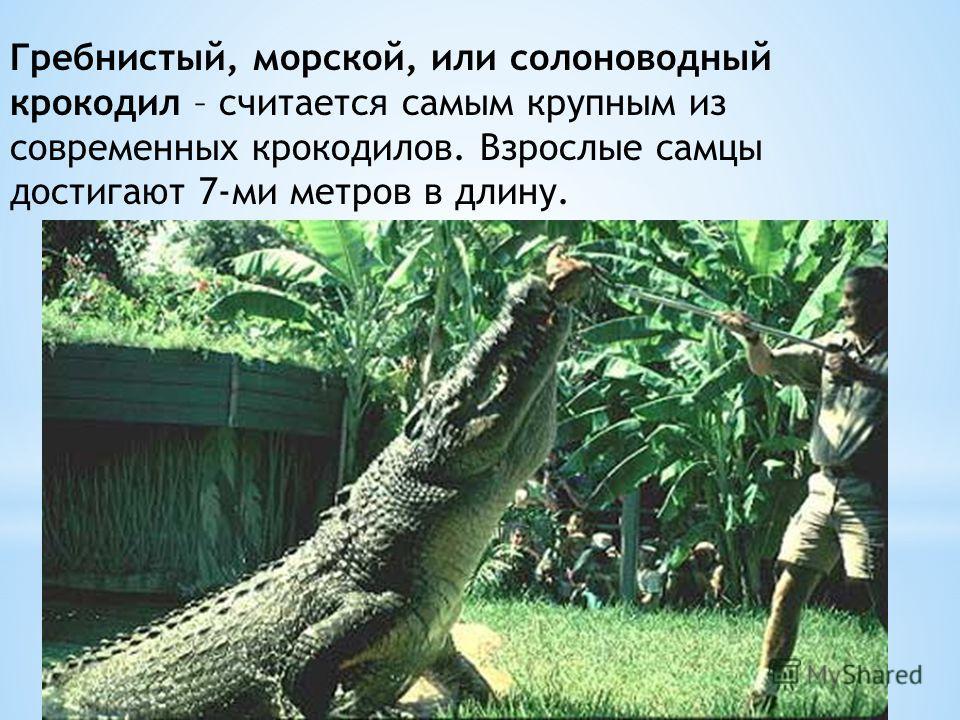 Гребнистый, морской, или солоноводный крокодил – считается самым крупным из современных крокодилов. Взрослые самцы достигают 7-ми метров в длину.