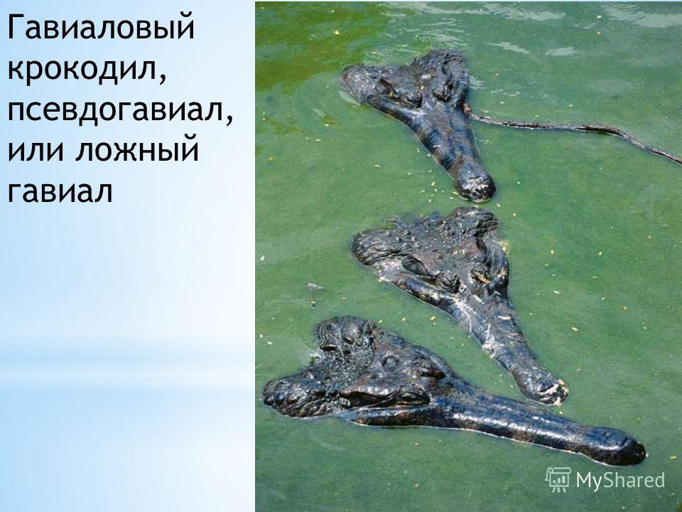 Гавиаловый крокодил, псевдогавиал, или ложный гавиал