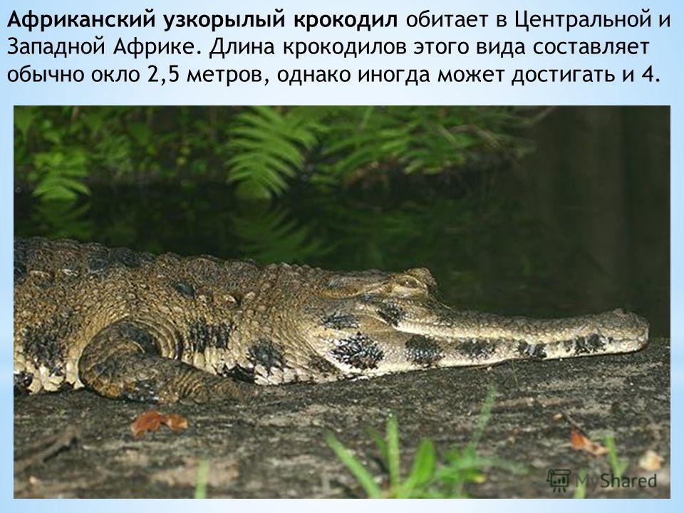 Африканский узкорылый крокодил обитает в Центральной и Западной Африке. Длина крокодилов этого вида составляет обычно окло 2,5 метров, однако иногда может достигать и 4.