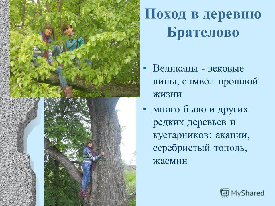 Поход в деревню Брателово Великаны - вековые липы, символ прошлой жизни много было и других редких деревьев и кустарников: акации, серебристый тополь, жасмин