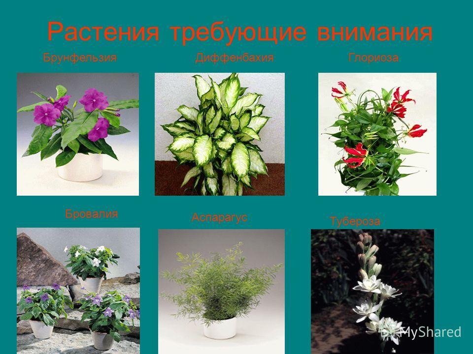 Растения требующие внимания БрунфельзияДиффенбахияГлориоза Бровалия Аспарагус Тубероза