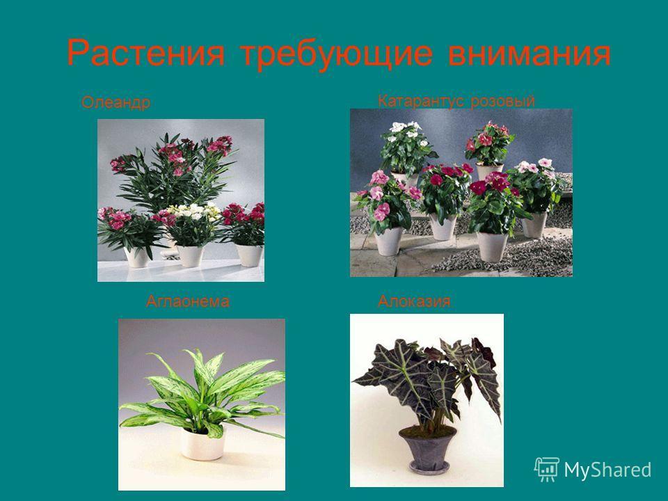 Растения требующие внимания Олеандр Катарантус розовый АлоказияАглаонема