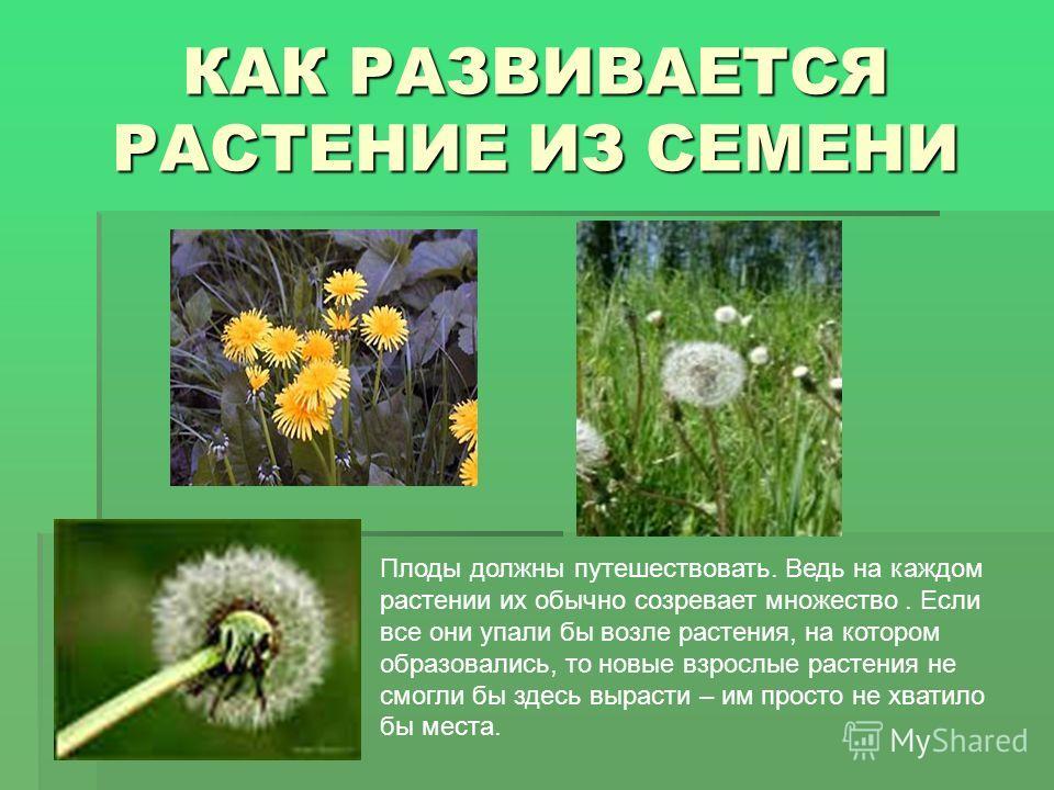 Плоды должны путешествовать. Ведь на каждом растении их обычно созревает множество. Если все они упали бы возле растения, на котором образовались, то новые взрослые растения не смогли бы здесь вырасти – им просто не хватило бы места.