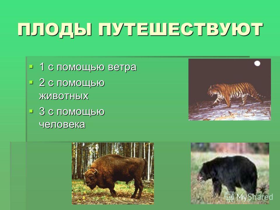 ПЛОДЫ ПУТЕШЕСТВУЮТ 1 с помощью ветра 1 с помощью ветра 2 с помощью животных 2 с помощью животных 3 с помощью человека 3 с помощью человека