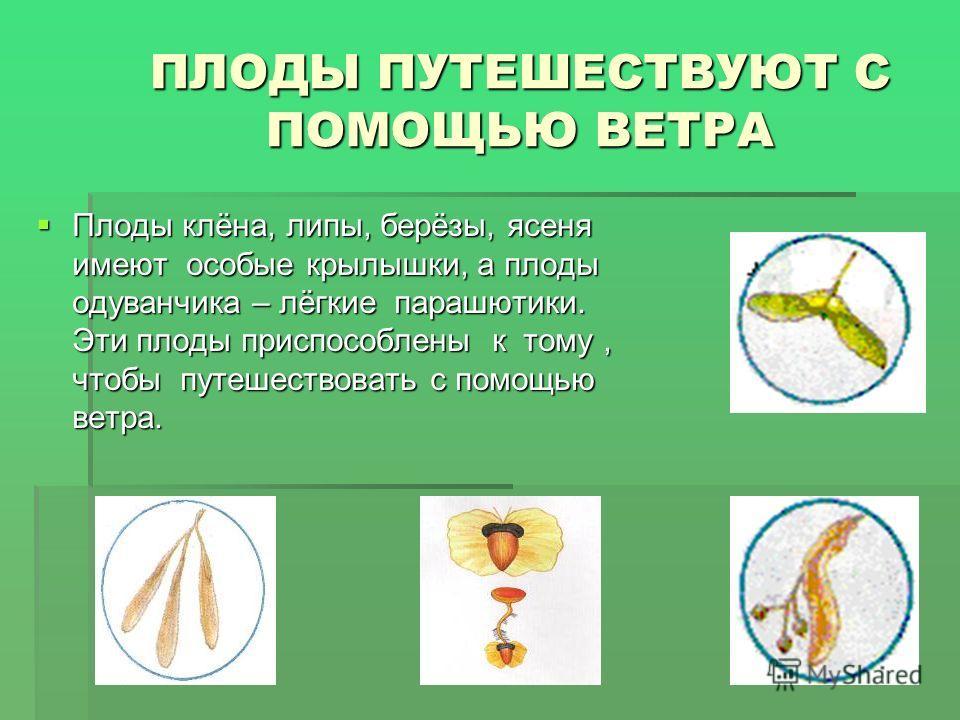 ПЛОДЫ ПУТЕШЕСТВУЮТ С ПОМОЩЬЮ ВЕТРА Плоды клёна, липы, берёзы, ясеня имеют особые крылышки, а плоды одуванчика – лёгкие парашютики. Эти плоды приспособлены к тому, чтобы путешествовать с помощью ветра. Плоды клёна, липы, берёзы, ясеня имеют особые кры