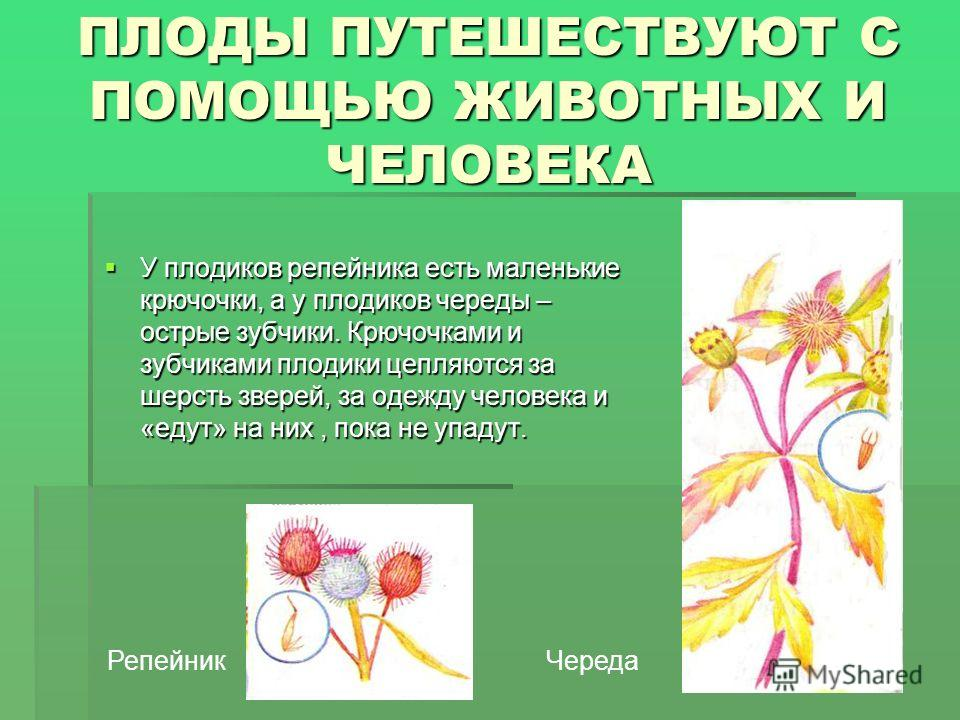 ПЛОДЫ ПУТЕШЕСТВУЮТ С ПОМОЩЬЮ ЖИВОТНЫХ И ЧЕЛОВЕКА У плодиков репейника есть маленькие крючочки, а у плодиков череды – острые зубчики. Крючочками и зубчиками плодики цепляются за шерсть зверей, за одежду человека и «едут» на них, пока не упадут. У плод