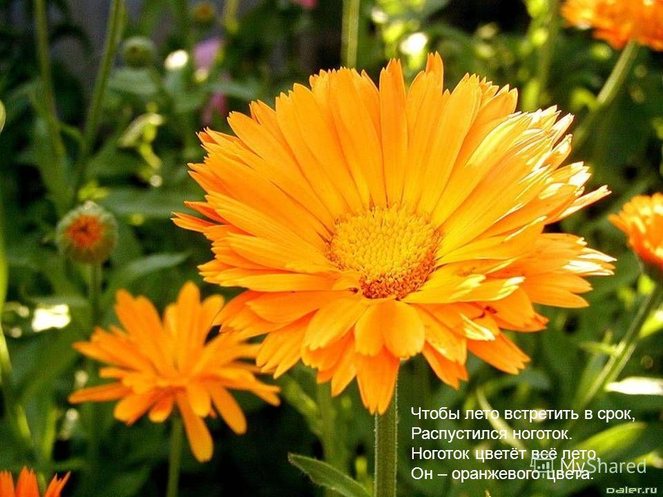 Чтобы лето встретить в срок, Распустился ноготок. Ноготок цветёт всё лето, Он – оранжевого цвета.