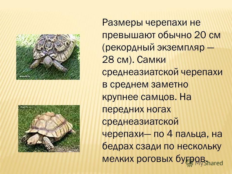 Размеры черепахи не превышают обычно 20 см (рекордный экземпляр 28 см). Самки среднеазиатской черепахи в среднем заметно крупнее самцов. На передних ногах среднеазиатской черепахи по 4 пальца, на бедрах сзади по нескольку мелких роговых бугров.