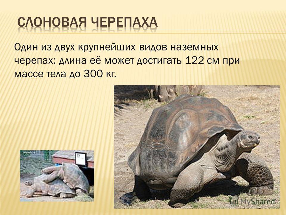Один из двух крупнейших видов наземных черепах: длина её может достигать 122 см при массе тела до 300 кг.