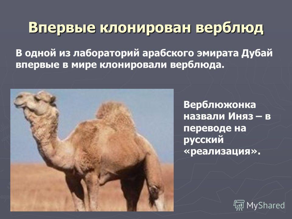 Впервые клонирован верблюд В одной из лабораторий арабского эмирата Дубай впервые в мире клонировали верблюда. Верблюжонка назвали Иняз – в переводе на русский «реализация».