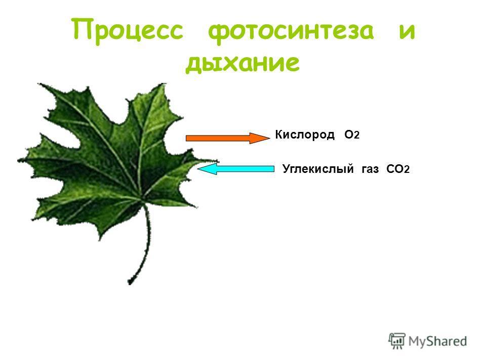 Процесс фотосинтеза и дыхание Кислород О 2 Углекислый газ СО 2